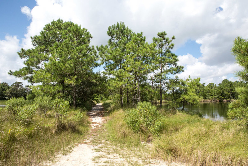 Sandy trail through beach grass and pines.