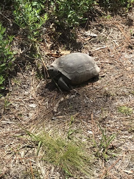 Gopher Tortoises are found here