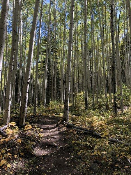 Strolling through the Aspen grove