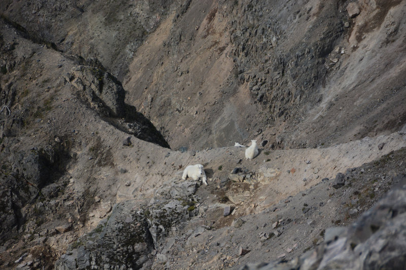 Some mountain goats along Boundary Trail
