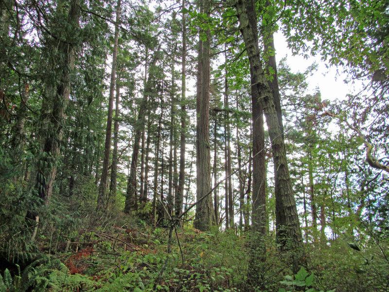 Beautiful tall evergreens