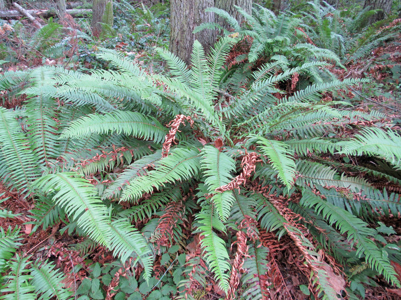 Forest floor covered in Broad Sword Ferns