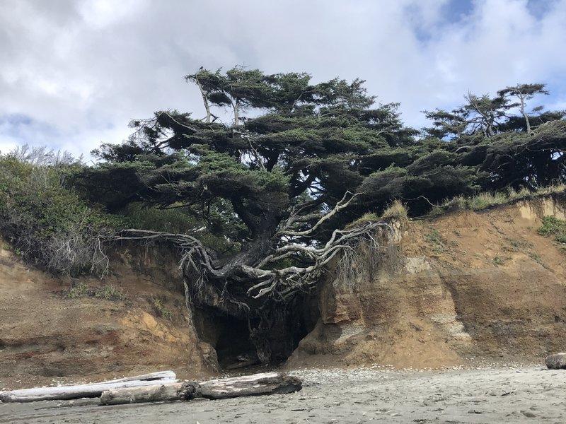 The Kalaloch Tree Of Life
