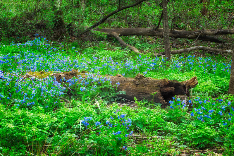 Bluebells surround a fallen log on Mother's Day weekend.