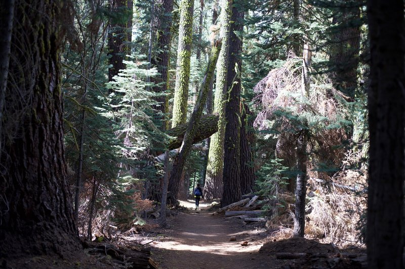 The trail meanders through a forest of pines where light finds its way to the forest floor in various nooks and crannies.