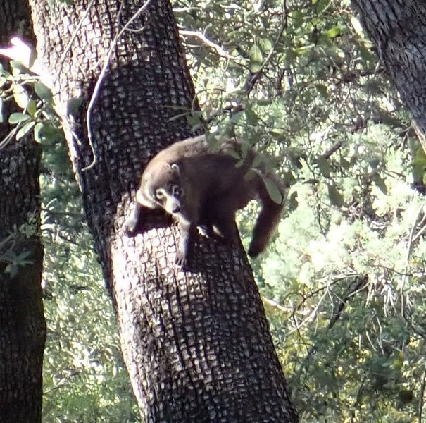 A Nasua narica, or White Nose Coati, that I startled while hiking the #4 Canada Del Oro trail.