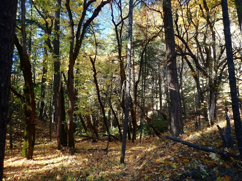 The trail passes through stands of big leaf maples.