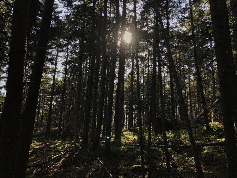 Sunlight through Mossy Woods.