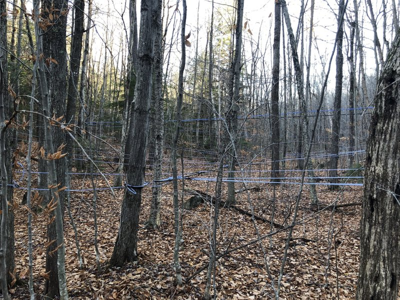 Maple Syrup Harvesting on the Andrew Brook Trail