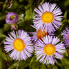 A bunch of Asters (I think) bask in the bright Autumn afternoon sunlight