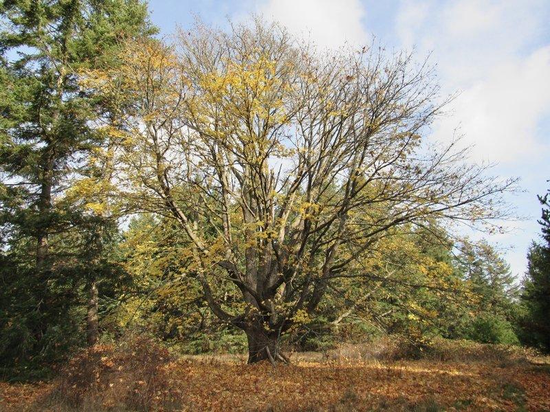 Huge Maple Trees