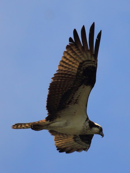 Osprey Above Little Seneca Lake 2