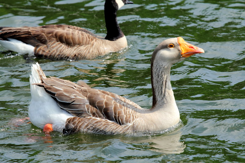 Unusual Goose in Little Seneca Lake