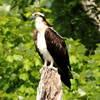 Osprey in Black Hill Park
