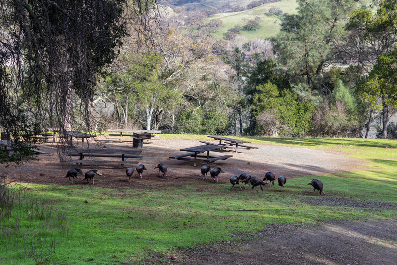 A rafter of turkeys near the Ardilla Group camp.