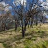 California Oak on Sailor Camp Trail.