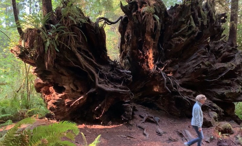 The underside of a fallen redwood can be as impressive as its standing fellows.