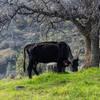 A cow on Pa'san Ridge Trail