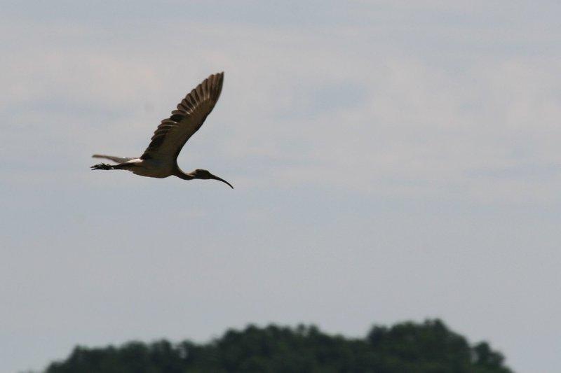 "White Ibis (imm.), Eudocimus albus; Merkle Wildlife Management Area"" by Matt Tillett (https://tinyurl.com/wq38fbn), Flickr licensed under CC BY 2.0 (https://creativecommons.org/licenses/by/2.0/)."