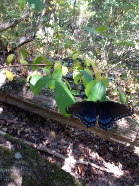 This and several of these beauties (Red Spotted Purple Admirals) were fluttering about on the trail.