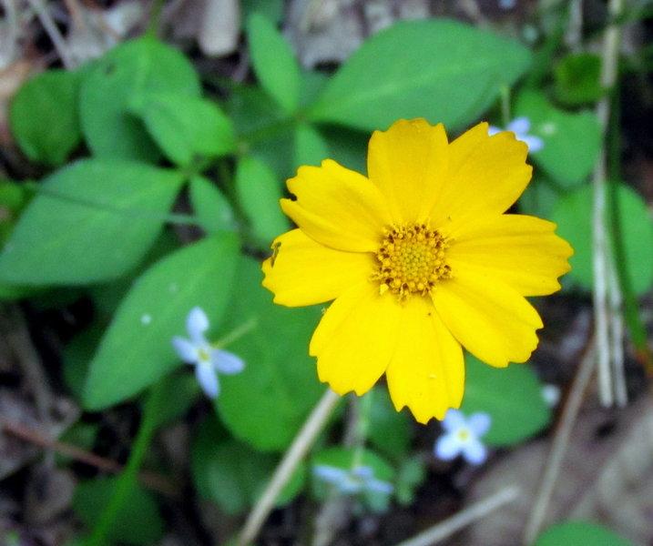 Tickseed and Bluets Uwaharrie Trail Uwahrrie Nat Forest NC Uwaharrie Trail Uwahrrie Nat Forest NC
