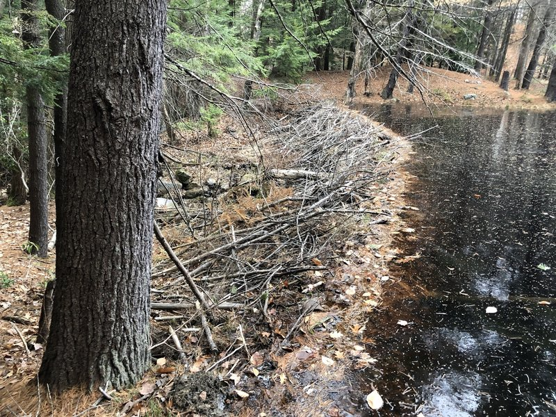 Beaver Dam at the end of the Bickford Trail