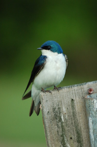 """Tree Swallow"""" by A. Drauglis (https://tinyurl.com/rykk52b), Flickr licensed under CC BY-SA 2.0 (https://creativecommons.org/licenses/by-sa/2.0/)."""