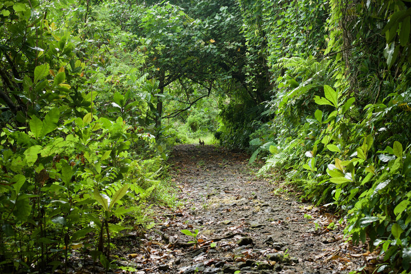 Why did the chicken cross the road? The trail is wide at this point and works its way uphill through the rain forest.