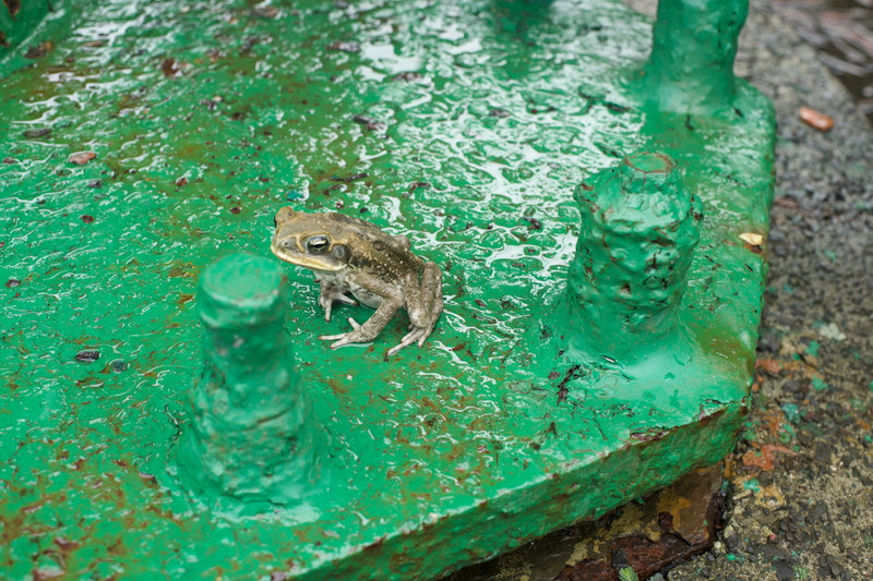 A frog hangs out in the old gun battery.  Be on the lookout for these guys, they can be found along the trail.