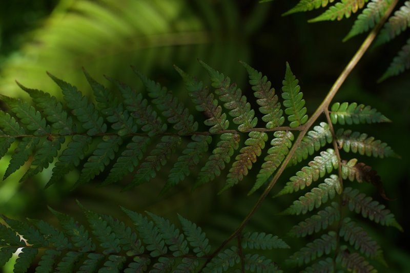 Ferns are common throughout the trail due to the wet climate.