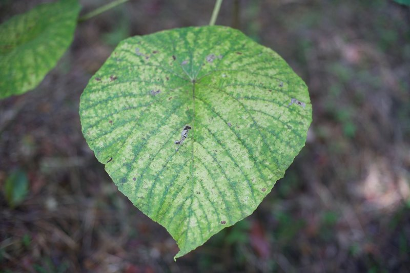 Large leafed plants line the trail, with beautiful patterns on them.