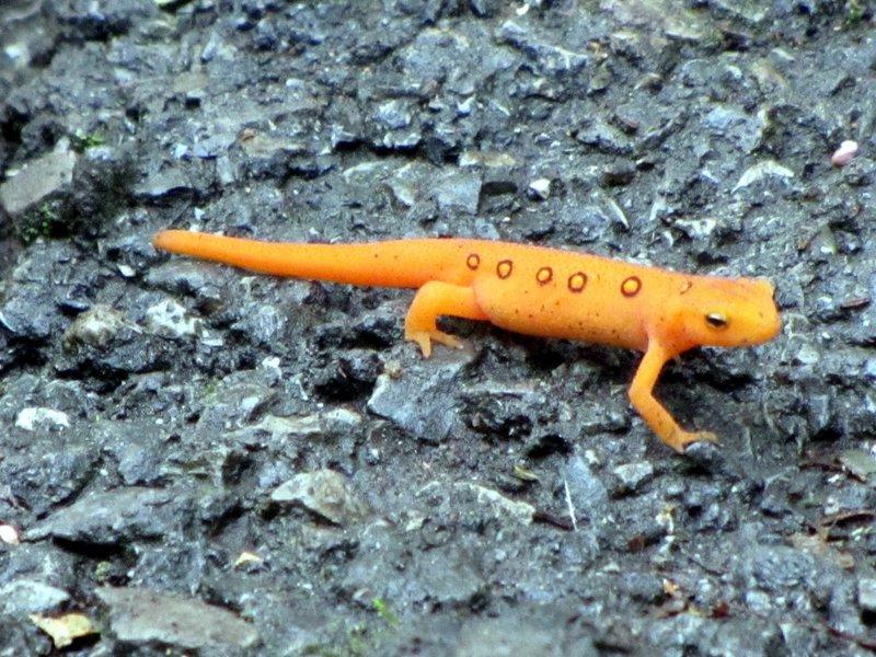 20110919 25 Salamander on Sharp Top Trail, Peaks of Otter, Virginia