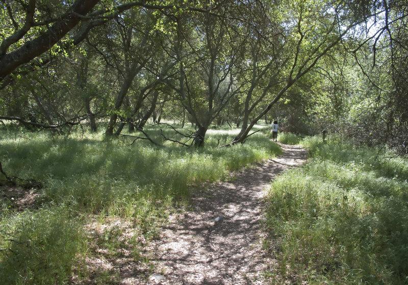 Valley oak woodland on Natoma Trail.