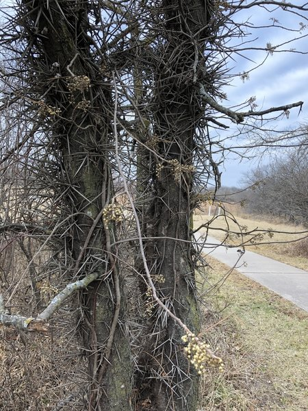 A little closer view of that thorny, poison ivy covered, monstrosity!