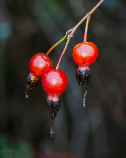 The first day of Winter has come, most flowers have wilted away, but some berries are holding on.
