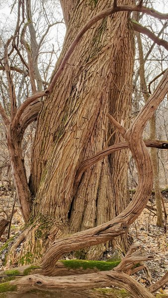 A huge twisted old tree with large grapevines.