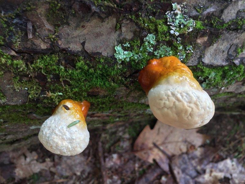 Unknown mushroom fruiting body.