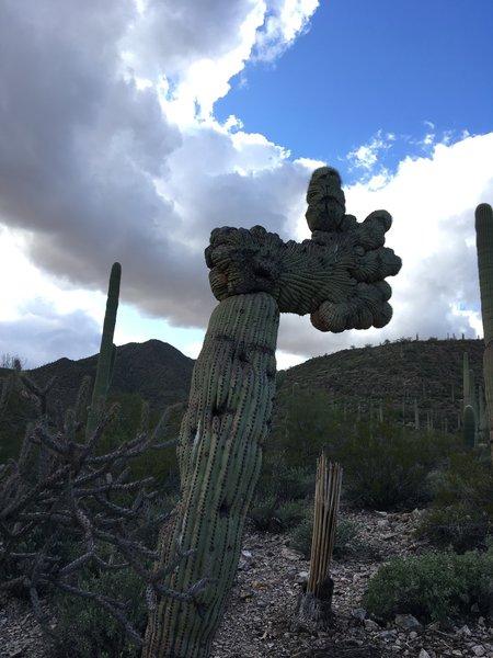 Crestated Saguaro cactus