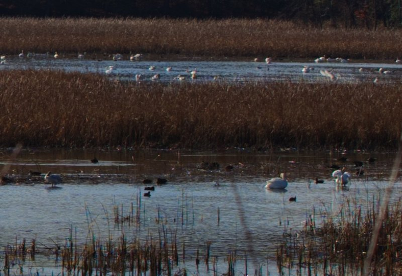 See migrating Tundra Swans from the viewing platform during winter.