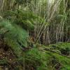 Ferns and bamboo in this temperate rain forest