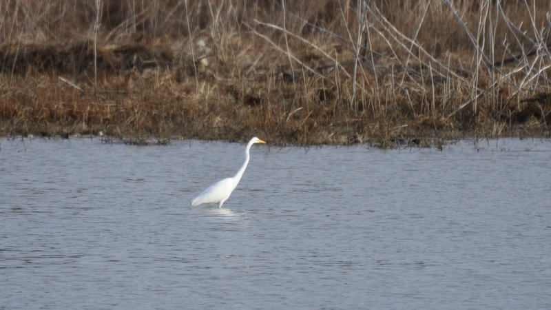 An Egret hunting