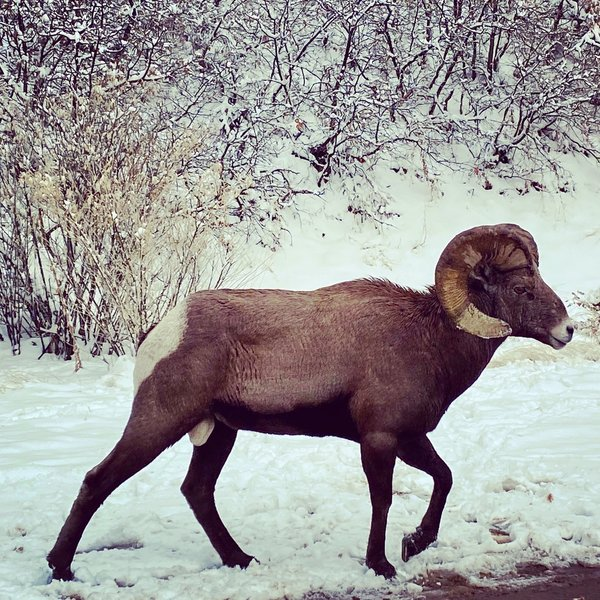 One of the many bighorn encountered in the canyon