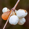 An interesting pattern for these berries - they tend to have one turn orange