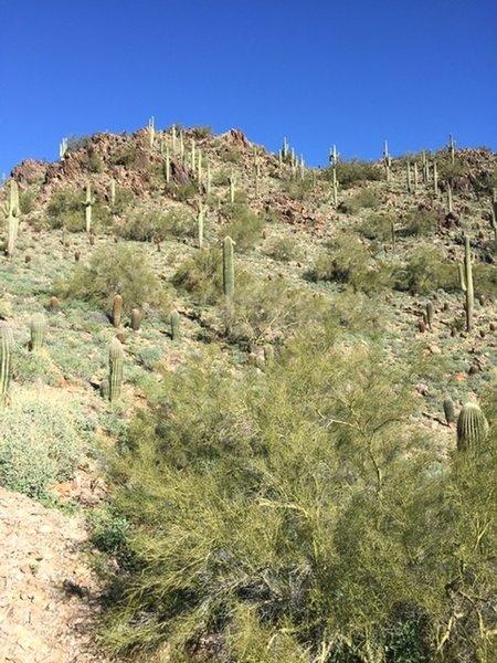 A lovely hillside of Saguaros