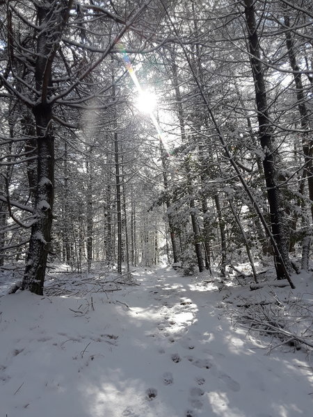 Walking south through the pine wood.