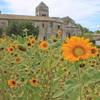 Sunflowers outside St Paul de Mausole