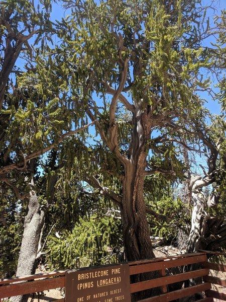 A young healthy Bristlecone Pine. A rare sight!