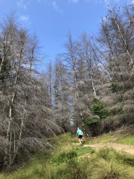 Climbing through the dead wilding pines