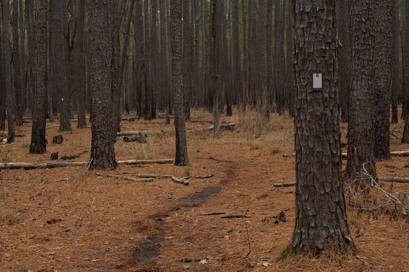 The trail is a narrow singletrack trail that runs through the pine forest. Pine needles provide a cushion for walking.