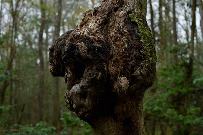 A burl on one of the trees in Congaree. Burls usually occur when the tree is put under some type of stress and are filled with dormant buds.
